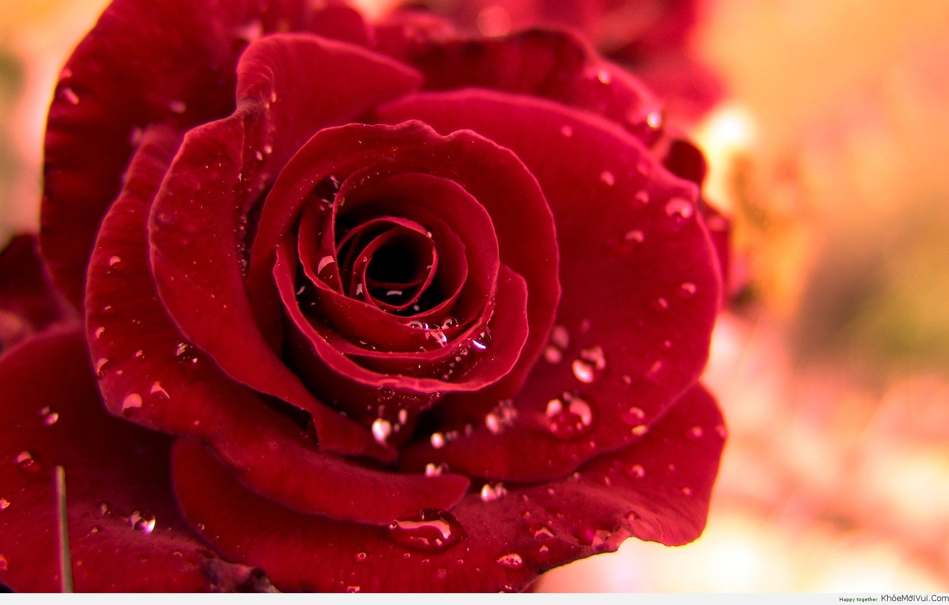 Hd-red-rose-wallpaper-for-rose-day